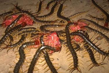 怎樣解決人工飼養蜈蚣的飼料(原料及配制)?