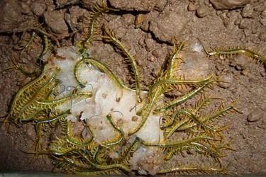 特種養殖創業:蜈蚣飼養成本要多少?