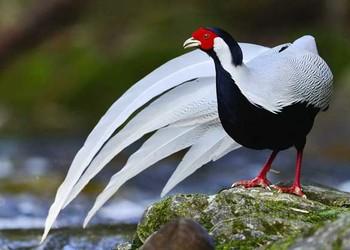觀賞珍禽:銀雞(白鷴)的飼養技術