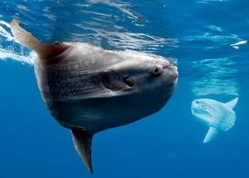 趣闻:翻车鱼的死法真的很奇怪吗?