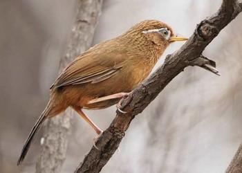 (生物科普知识)画眉鸟不叫怎么办?