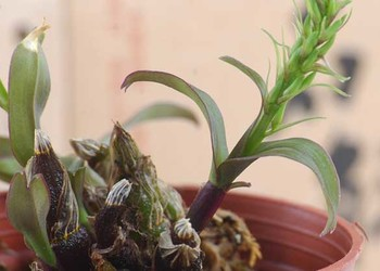 花木知識:石斛盆栽的栽培種養方法