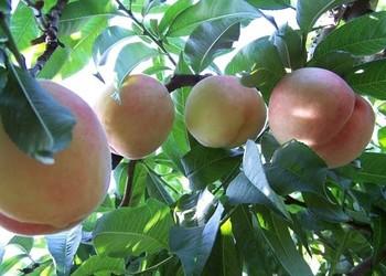 何時栽種桃樹最好?種植與嫁接桃樹的適宜時間