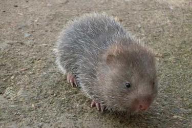 竹鼠繁殖能力及如何鉴别其怀孕?
