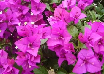 花木知識:三角梅栽種技術方法和注意要點