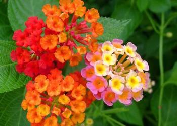 花木知識:五色梅的栽種技術方法