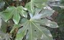 八角金盤的栽種方法和注意要點(花卉苗木技術)