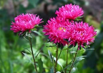 翠菊的栽培種養方法(花木知識技藝)