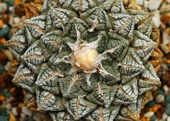 花卉技術:龜甲牡丹的栽種技術方法