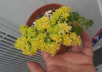 (苗木花卉技术)黄金万年草的栽种方法