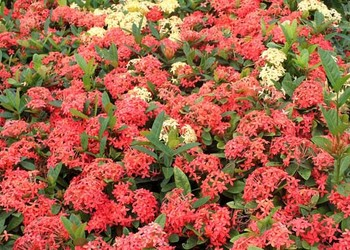 龍船花的栽種技術方法和注意要點(花木園藝)