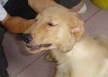 养宠物知识:犬瘟热最佳治疗方法