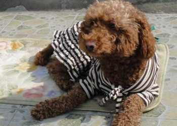 養寵物知識:犬瘟熱會傳染人嗎?