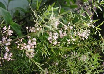 常用中藥品類:天門冬的栽植種養技術