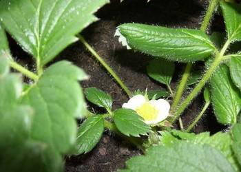 菠蘿莓繁育技術介紹