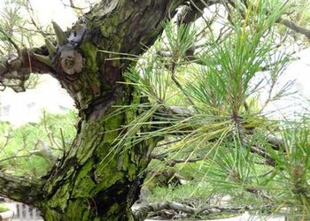 花卉苗木:赤松盆景的栽种技术方法