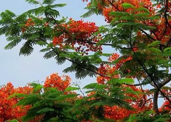 花卉苗木:紅花楹的栽種技術