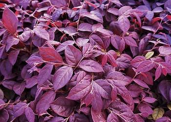 花卉苗木:紅花檵木盆景制作與養護