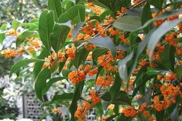 金桂花树栽种技术(花木生产技术)