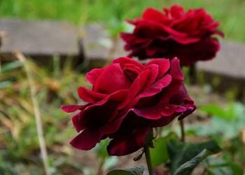 路易十四玫瑰花语和传说(花文化)