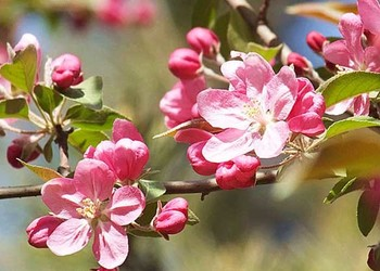 北美海棠的栽種技術方法(花木生產技術)