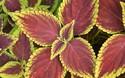 盆景園藝技術:盆栽彩葉草怎么養護?