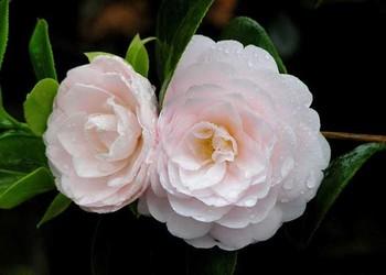 盆景園藝技術:茶花盆栽栽培養護方法