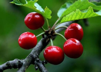 園藝知識:如何養盆栽大櫻桃?