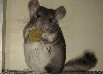 寵物專題:毛絲鼠為什么叫龍貓?