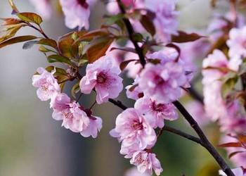 美人梅的栽种技术方法(园艺技术)