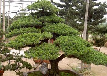 园艺盆景:盆栽五针松怎么种养?