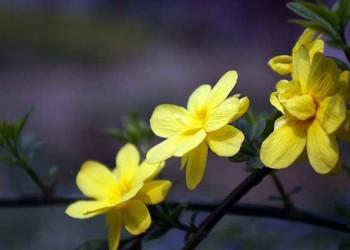 (園藝花卉)盆栽迎春花如何種養?