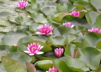(花卉文化)睡蓮的花語和傳說