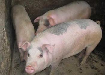 """良種瘦肉豬""""皮特蘭豬""""品種介紹"""