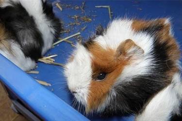 特种养殖:花毛豚的饲养技术及前景