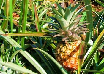 盆栽菠萝繁育技术
