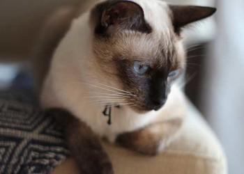 養寵物專題:暹Xiān羅貓應該如何家養?
