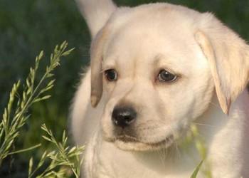 (养宠物)十大拉布拉多犬狗粮排行榜