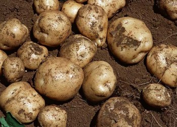 糧油農技:馬鈴薯什么品種好?
