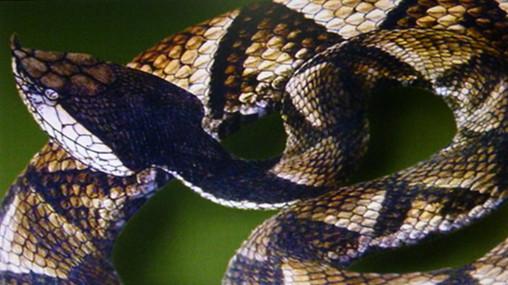 特种养殖:蕲蛇(五步蛇)饲养技术