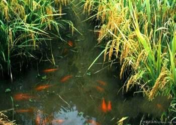 水产养鱼专题:稻田养鱼的关键注意事项