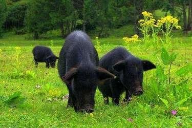 視頻:生態養殖場的藏香豬養殖故事,一年狂賺了400萬!
