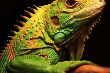 幾種蜥蜴(四腳蛇)品種及其飼養方法