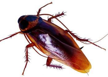 特种养殖专题:蟑螂三大用途与经济价值
