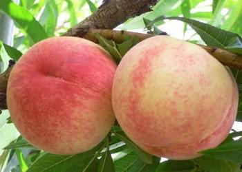 水蜜桃保鮮方法及成熟季節