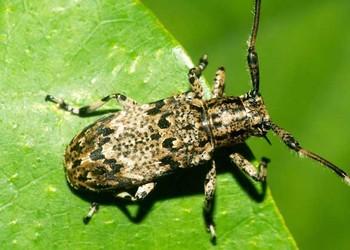 天牛和蟋蟀的區分辨別(生物知識)