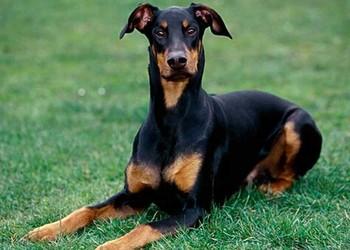 養寵物知識:杜賓犬性格怎么樣?