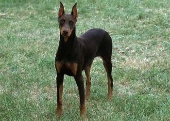 养宠物知识:杜宾犬打架凶吗?