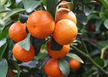 橘子产地环境分析