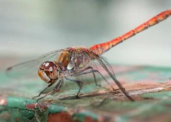 蜻蜓能活多长时间?(生物科普知识)